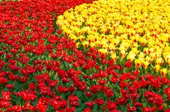 Stock Photo of beautiful red and yellow tulips. nature background.