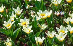 beautiful white tulips close-up. - stock photo