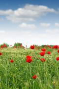 Red poppy flower meadow spring season Stock Photos
