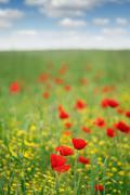 poppy flower meadow spring season - stock photo