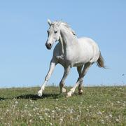nice white horse running on spring pasturage - stock photo