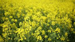 Canola field. Slow motion Stock Footage