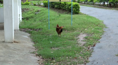 A rooster/cock running/playing in rainy season in an open green area Stock Footage