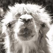 camel portrait (vintage sepia shot) - stock photo