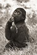 Gorilla vauva (seepia) Kuvituskuvat