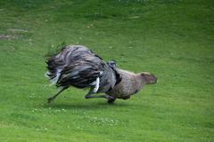Emu chasing capybara Kuvituskuvat