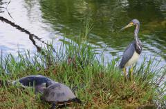 Heron in florida everglades Stock Photos