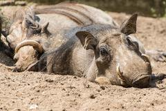 Warthogs lazing about Stock Photos