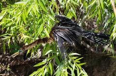 Anhinga snake bird Stock Photos