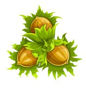 Cluster of ripe hazelnuts Stock Illustration