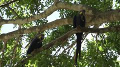 097 Pantanal, Hyacinth Macaws (Anodorhynchus hyacinthinus) in tree, slowmotio Stock Footage