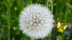 Dandelion, blowball Stock Footage
