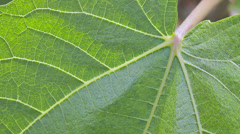 Leaf of common fig (Ficus Carica) - stock footage