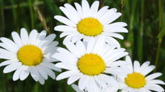 Daisy field in spring (leucanthemum vulgare) Stock Footage