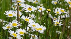 Daisy field in spring (leucanthemum vulgare) Stock Footage