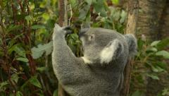 Koala Eating Gum Tree Stock Footage