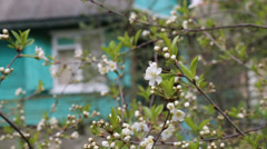 White cherry blossoms in spring on a background of blue rustic lodge Stock Footage