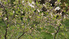 White flowers in the spring cherry and bees Stock Footage