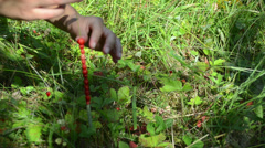 Girl hands gather wild strawberry and swing on bent grass Stock Footage
