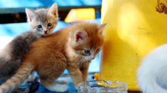 Fluffy kittens Stock Footage