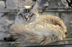 fluffy white cat - stock photo