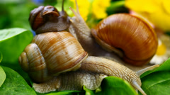 Snails-Helix pomatia episode 1 Stock Footage