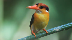 Black-backed Kingfisher in the green blackground - stock footage