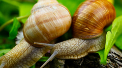 Snails-Helix pomatia episode 4 Stock Footage