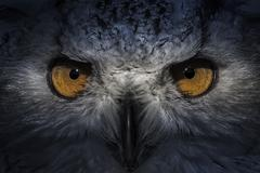 ecology, eagle owl, detail of head, lovely plumage - stock photo