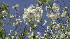 Beautiful cherry tree blossoming in  spring garden Stock Footage