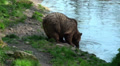 Brown bear drinking water from pond HD Footage