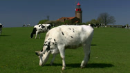 Stock Video Footage of Cows in front of old lighthouse - Baltic Sea, Northern Germany