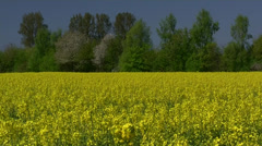 Rape Seed Field - Rügen Island - Baltic Sea, Northern Germany Stock Footage