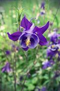 beautiful flower of aquilegia - stock photo
