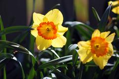 Yellow Daffadil - stock photo