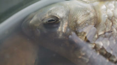 Live carp in water Stock Footage