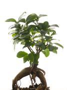 ginseng ficus - stock photo
