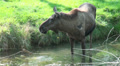 An Elk - Moose eating in a pond HD Footage