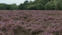 Sunlight streaks across blooming heathland, Calluna vulgaris Stock Footage