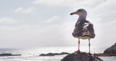 Seagull takes off from rock in front of ocean water 4k Stock Footage