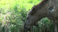 The eating Elk - Moose Footage