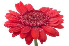 Gerbera flower isolated Stock Photos