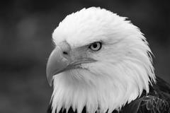 Head of an American Bald Eagle Stock Photos