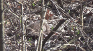Stock Video Footage of hedgehog in thickets