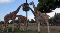 Giraffes eating grass from a basket, zoo,natural park, animals in captivity Stock Footage