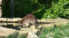 Raccoons at a rocky bassin Stock Footage