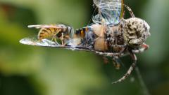 German Wasp meets Orb Web Spider Stock Footage
