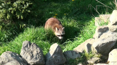 Raccoon at rocky ground Stock Footage