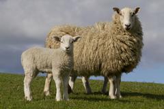 Sheep and lamb grazing Stock Photos