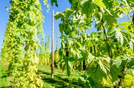 Stock Photo of Austrian Hop Plantation